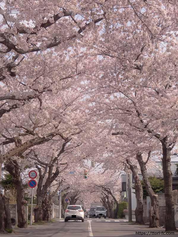 函館桜が丘通の桜並木