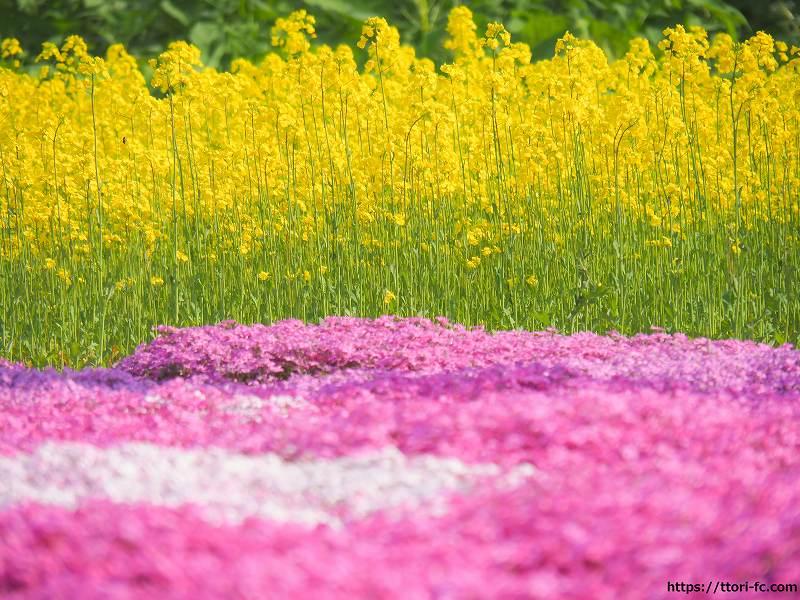 芝桜と菜の花