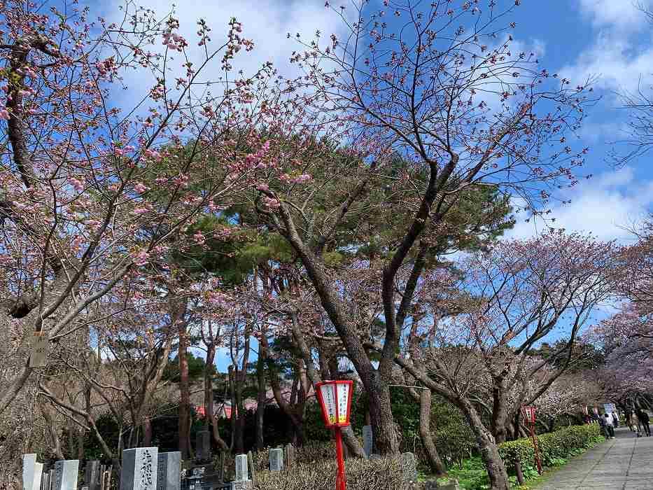 松前公園の遅咲きの桜