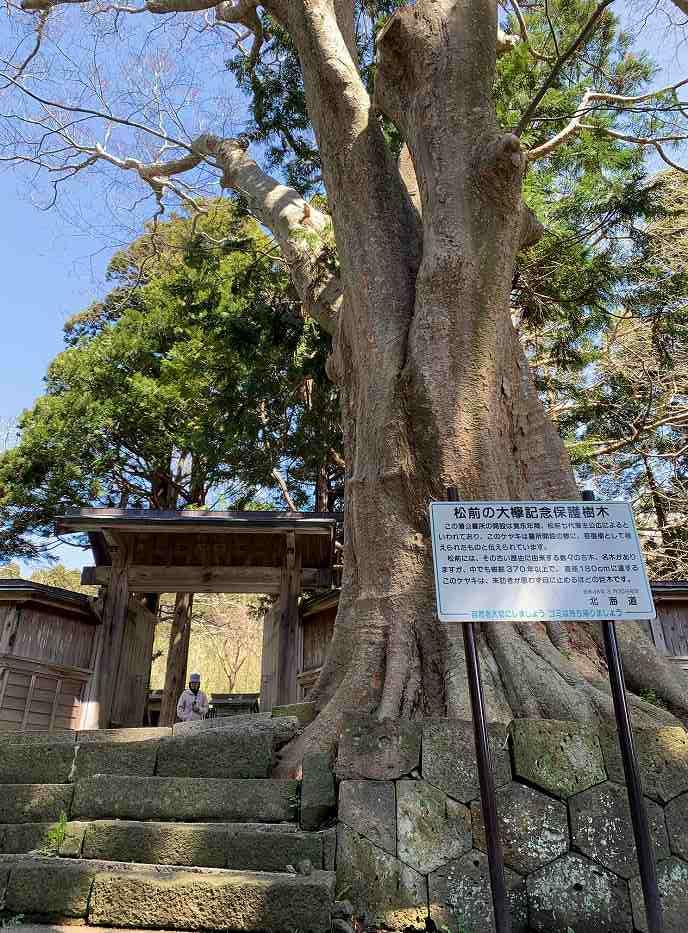 松前公園の欅