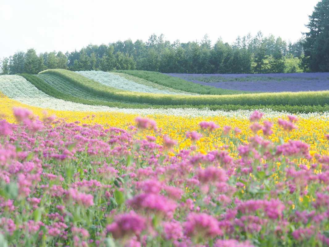 ファーム富田の彩の畑